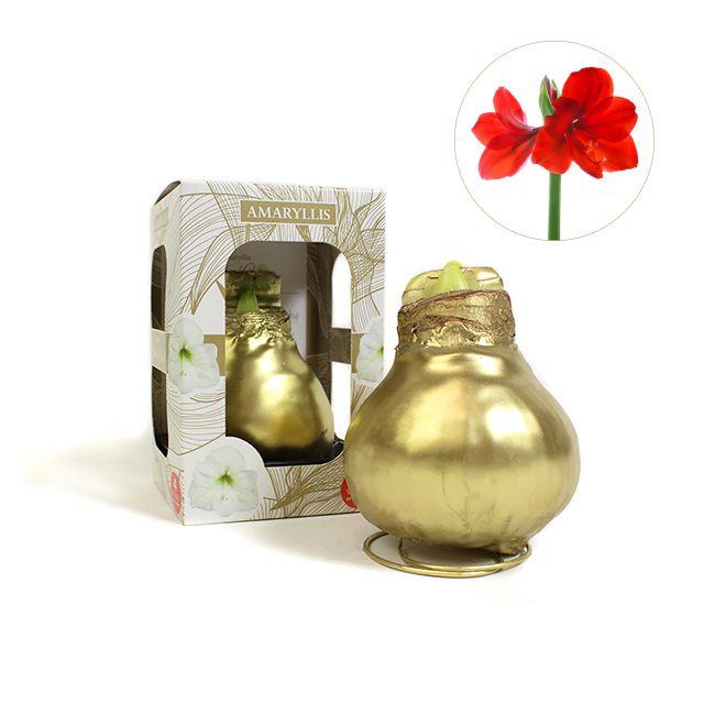 Golden Amaryllis