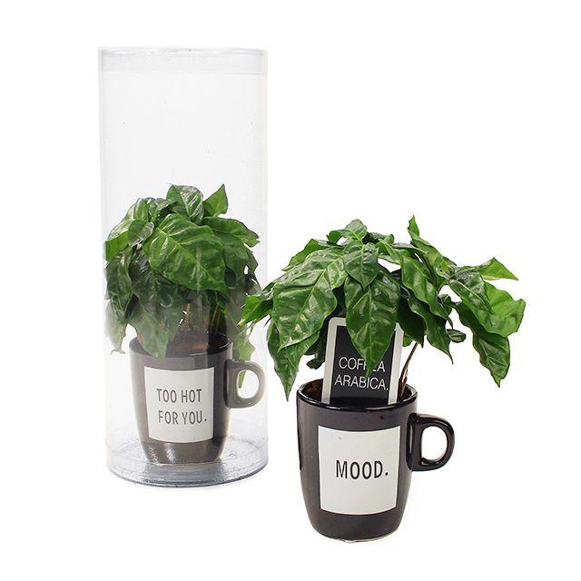 Koffieplant in koffiemok