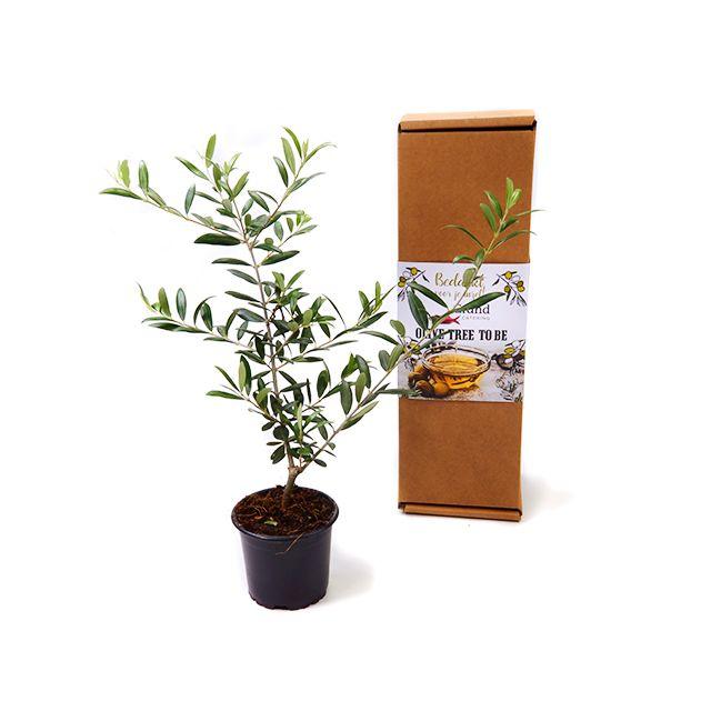 Olijfboom in persoonlijke verpakking (Nuevo!)
