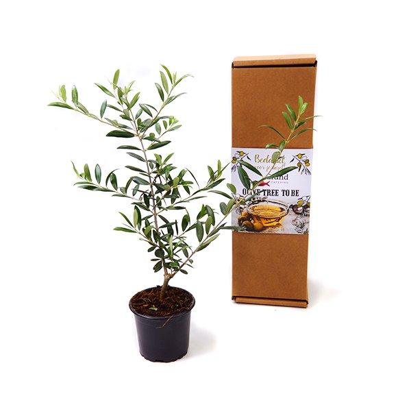 Olijfboompje in persoonlijke verpakking